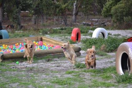 Banksia Park Puppies Sara - 17 of 39