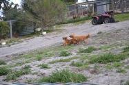 Banksia Park Puppies Sara - 2 of 39