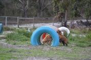 Banksia Park Puppies Sara - 28 of 39