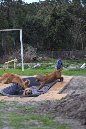 Banksia Park Puppies Sara - 37 of 39