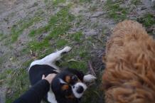 Banksia Park Puppies Poppy