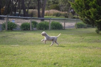 Banksia Park Puppies Tyrone