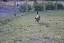 Banksia Park Puppies Uno