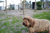 Banksia Park Puppies Whoopy