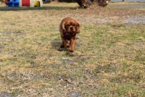 Mami-Cavalier-Banksia Park Puppies - 1 of 53