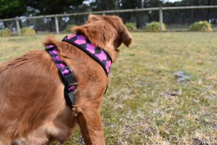 Mami-Cavalier-Banksia Park Puppies - 10 of 53