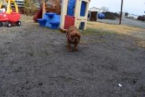 Mami-Cavalier-Banksia Park Puppies - 11 of 53