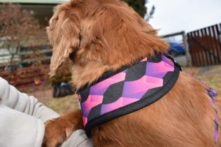 Mami-Cavalier-Banksia Park Puppies - 15 of 53