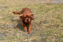 Mami-Cavalier-Banksia Park Puppies - 2 of 53