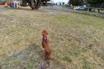 Mami-Cavalier-Banksia Park Puppies - 23 of 53