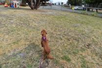 Mami-Cavalier-Banksia Park Puppies - 23 of 53