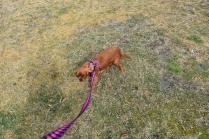 Mami-Cavalier-Banksia Park Puppies - 24 of 53