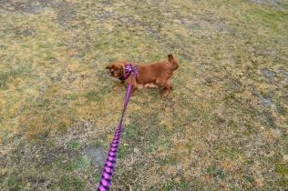 Mami-Cavalier-Banksia Park Puppies - 25 of 53