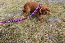 Mami-Cavalier-Banksia Park Puppies - 29 of 53