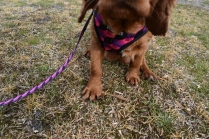 Mami-Cavalier-Banksia Park Puppies - 30 of 53