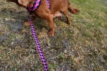 Mami-Cavalier-Banksia Park Puppies - 33 of 53