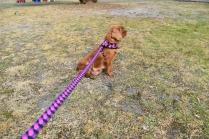 Mami-Cavalier-Banksia Park Puppies - 34 of 53