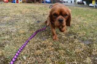 Mami-Cavalier-Banksia Park Puppies - 37 of 53