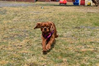 Mami-Cavalier-Banksia Park Puppies - 4 of 53