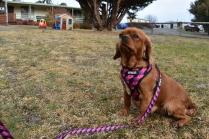 Mami-Cavalier-Banksia Park Puppies - 41 of 53