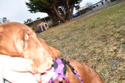 Mami-Cavalier-Banksia Park Puppies - 43 of 53