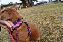 Mami-Cavalier-Banksia Park Puppies - 44 of 53