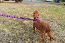 Mami-Cavalier-Banksia Park Puppies - 46 of 53