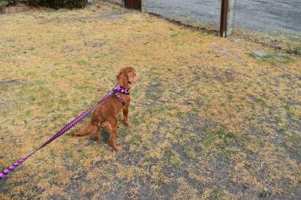Mami-Cavalier-Banksia Park Puppies - 49 of 53