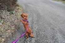 Mami-Cavalier-Banksia Park Puppies - 51 of 53