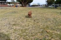Mami-Cavalier-Banksia Park Puppies - 6 of 53