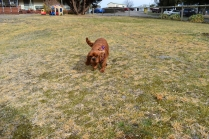 Mami-Cavalier-Banksia Park Puppies - 7 of 53