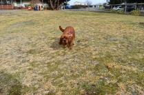 Mami-Cavalier-Banksia Park Puppies - 7 of 53