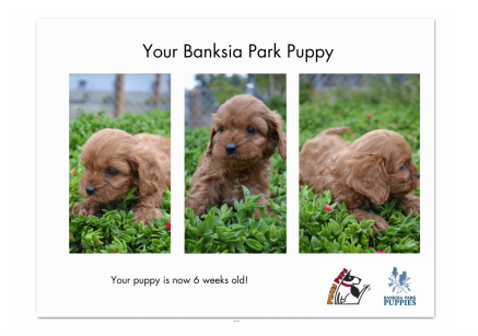 Banksia Park Puppies your puppy at 6 weeks