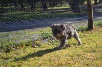 Banksia Park Puppies Arthur