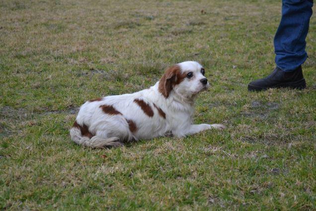 Banksia Park Puppies Cersei