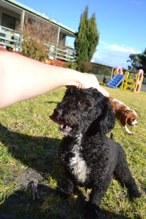 Banksia Park Puppies Fusspot