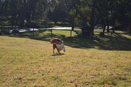 Banksia Park Puppies Ogi