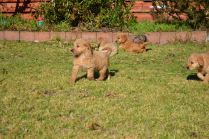 Banksia Park Puppies Oopsy's pups