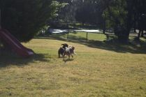 Banksia Park Puppies Tayla