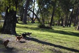Banksia Park Puppies - 8509