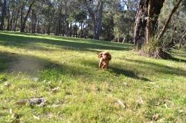 Banksia Park Puppies - 8511