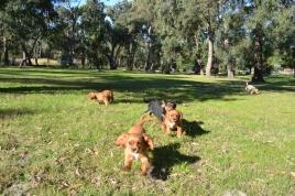 Banksia Park Puppies - 8513
