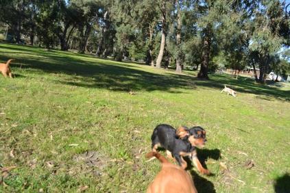 Banksia Park Puppies - 8514