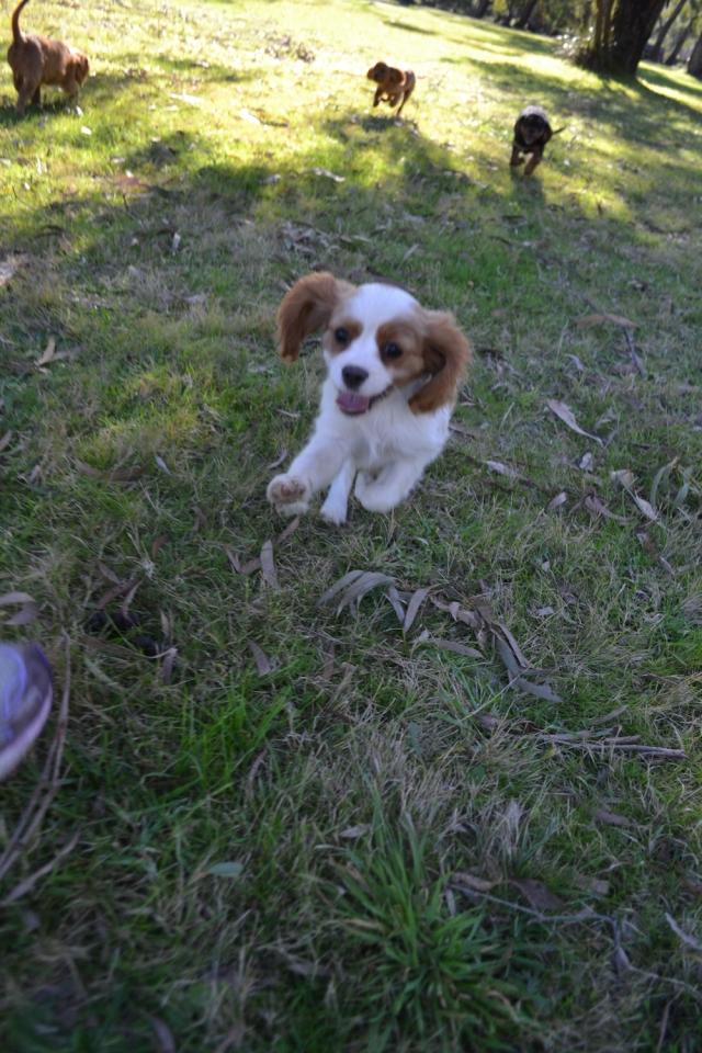 Banksia Park Puppies - 8529