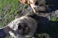 Banksia Park Puppies Luna