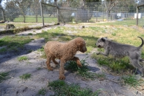 Banksia Park Puppies Ashleigh