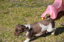 Banksia Park Puppies Avon