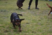 Banksia Park Puppies Chazzie - 17 of 39