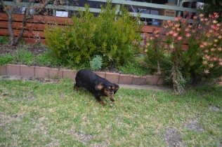 Banksia Park Puppies Chazzie - 24 of 39