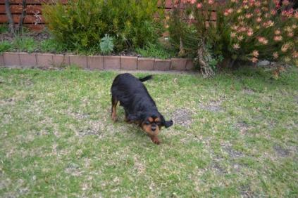 Banksia Park Puppies Chazzie - 25 of 39